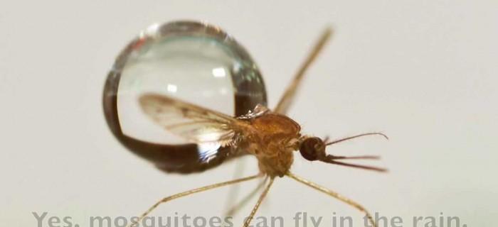 ¿Cómo vuelan los mosquitos cuando llueve?