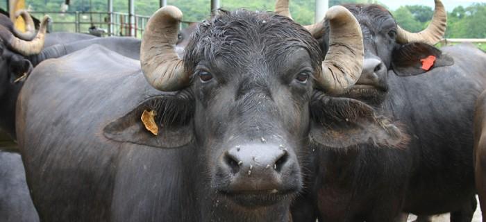 Buffalo buffalo Buffalo buffalo buffalo… y así hasta 8 veces
