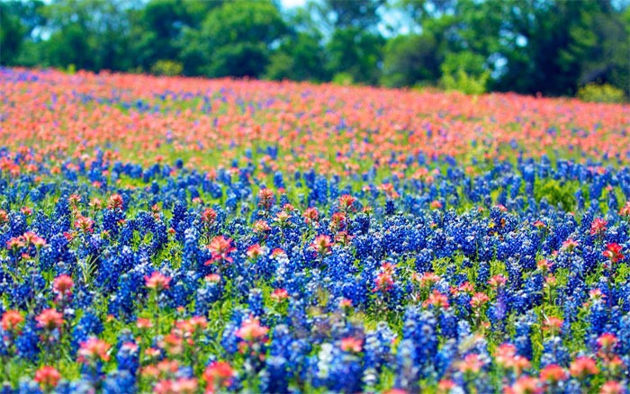 Ennis Bluebonnet Festival, Texas
