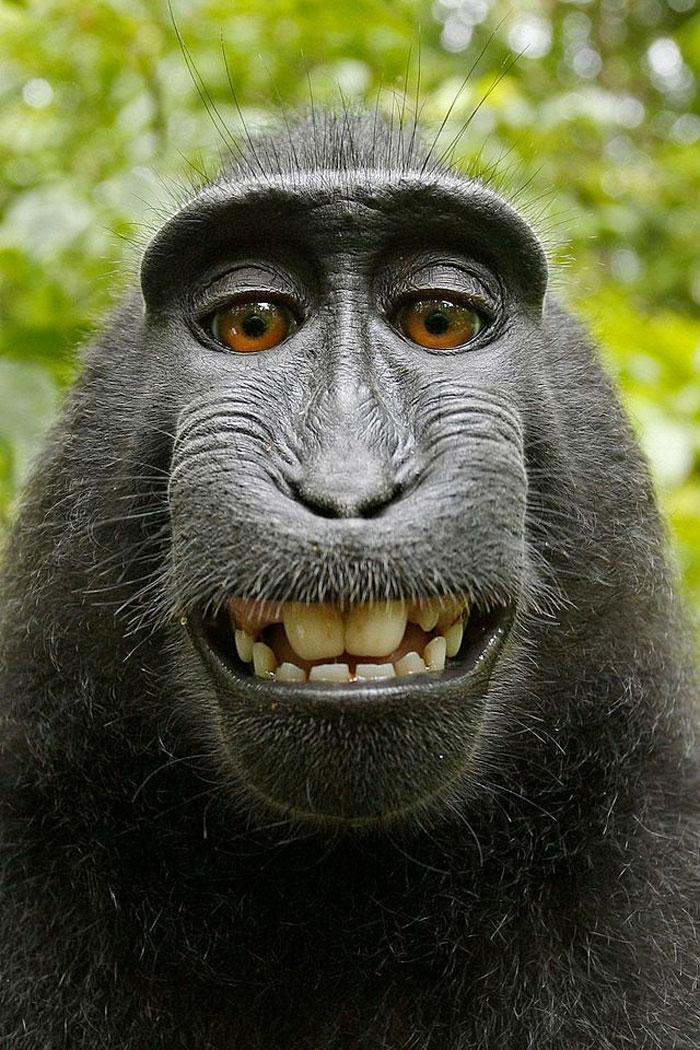 Macaca haciéndose su selfie