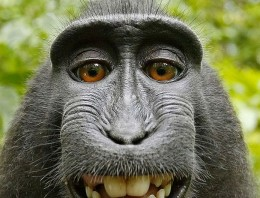 La mona que se hizo un selfie provoca un debate: ¿Quién tiene los derechos de autor?