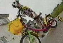 Perro en bicicleta