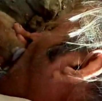 Un pequeño milagro: Salvan la vida a un cochino recién nacido haciéndole el boca a boca