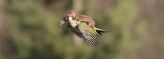La famosa foto del pájaro carpintero montado por una comadreja
