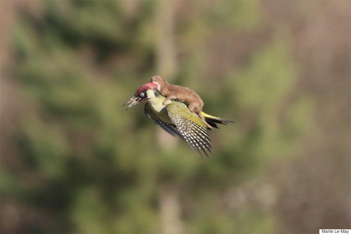 Comadreja montando un pájaro carpintero