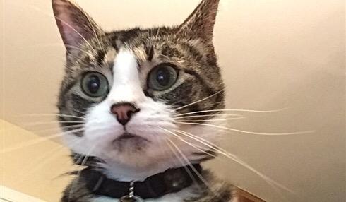 Pillan a este gato intentando entrar al ordenador de su dueño